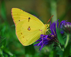 butterfly 3 fowt