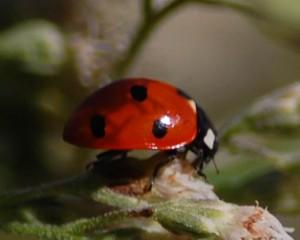 7-spotted Ladybug