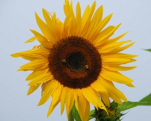 sunflower fowt brochure